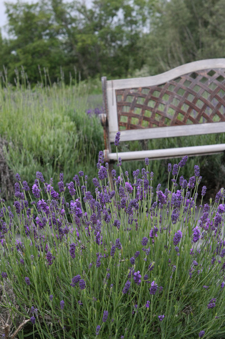 Bench in a lavender field