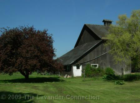 Barn and Plum Tree