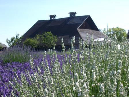 Barn and White Lavender