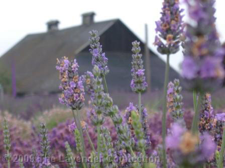 Barn and Lavender